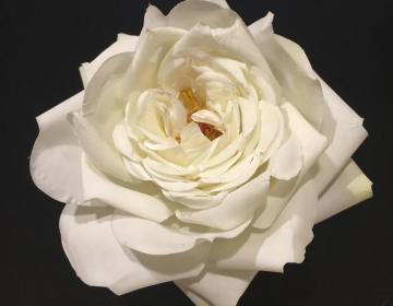 rosa bianca finta